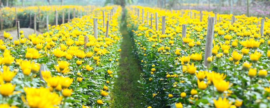 Rows of flowers in the village of Tay Tuu