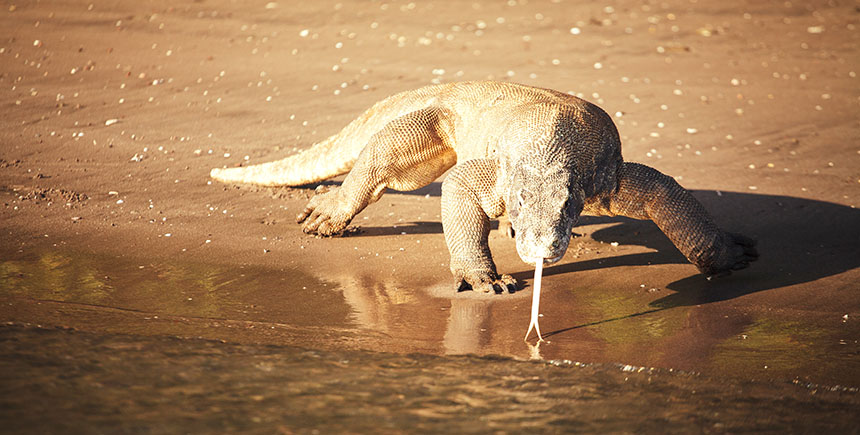 The fearsome Komodo dragon runs up to 20kph, and feeds on medium-sized animals like deer and wild boar
